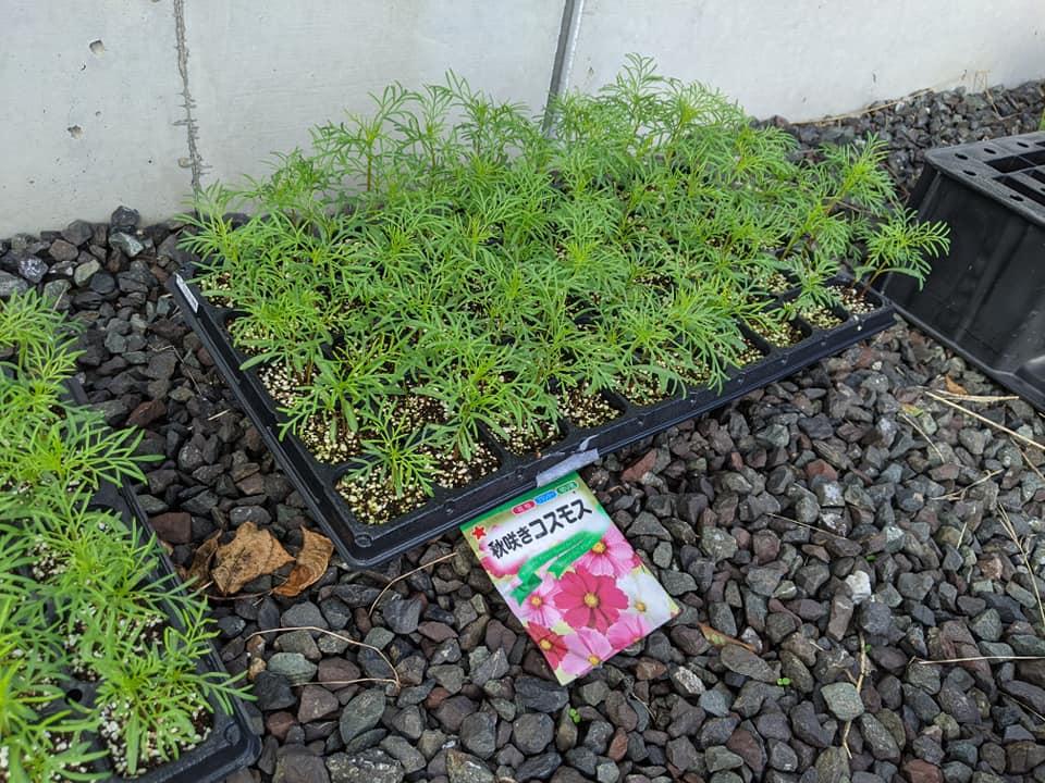 コスモス苗を道路沿いに植えました!