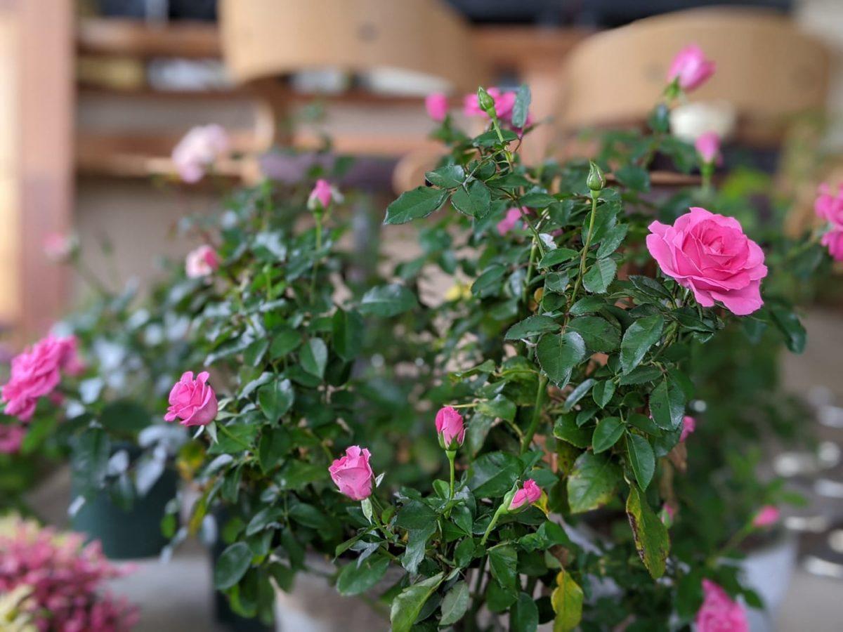 台風一過 薔薇が満開です