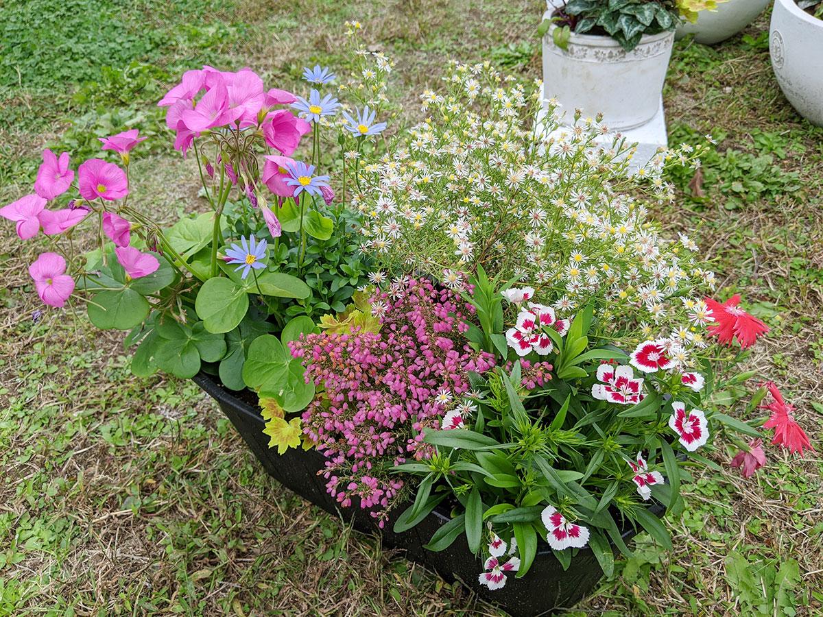 3回目 48歳のおっさんが始めて寄植えに挑戦したらこうなった!ガーデニング歴半年 秋の草花で楽しむガーデニング