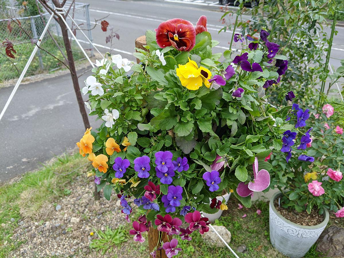 【スリットバスケット】ガーデニング初心者48歳のおっさんが挑戦 バンジー&ビオラ 秋の花を使って初めてのチャレンジ  上手にできるか見てください。舞鶴 森本たかし