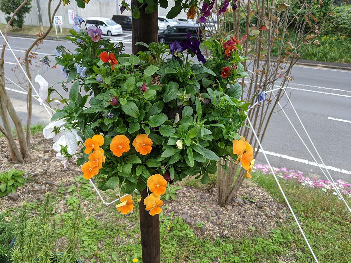 2回目【スリットバスケット】ガーデニング初心者48歳のおっさんが挑戦 バンジー&ビオラ 秋の花を使って初めてのチャレンジ  上手にできるか見てください。舞鶴 森本たかし