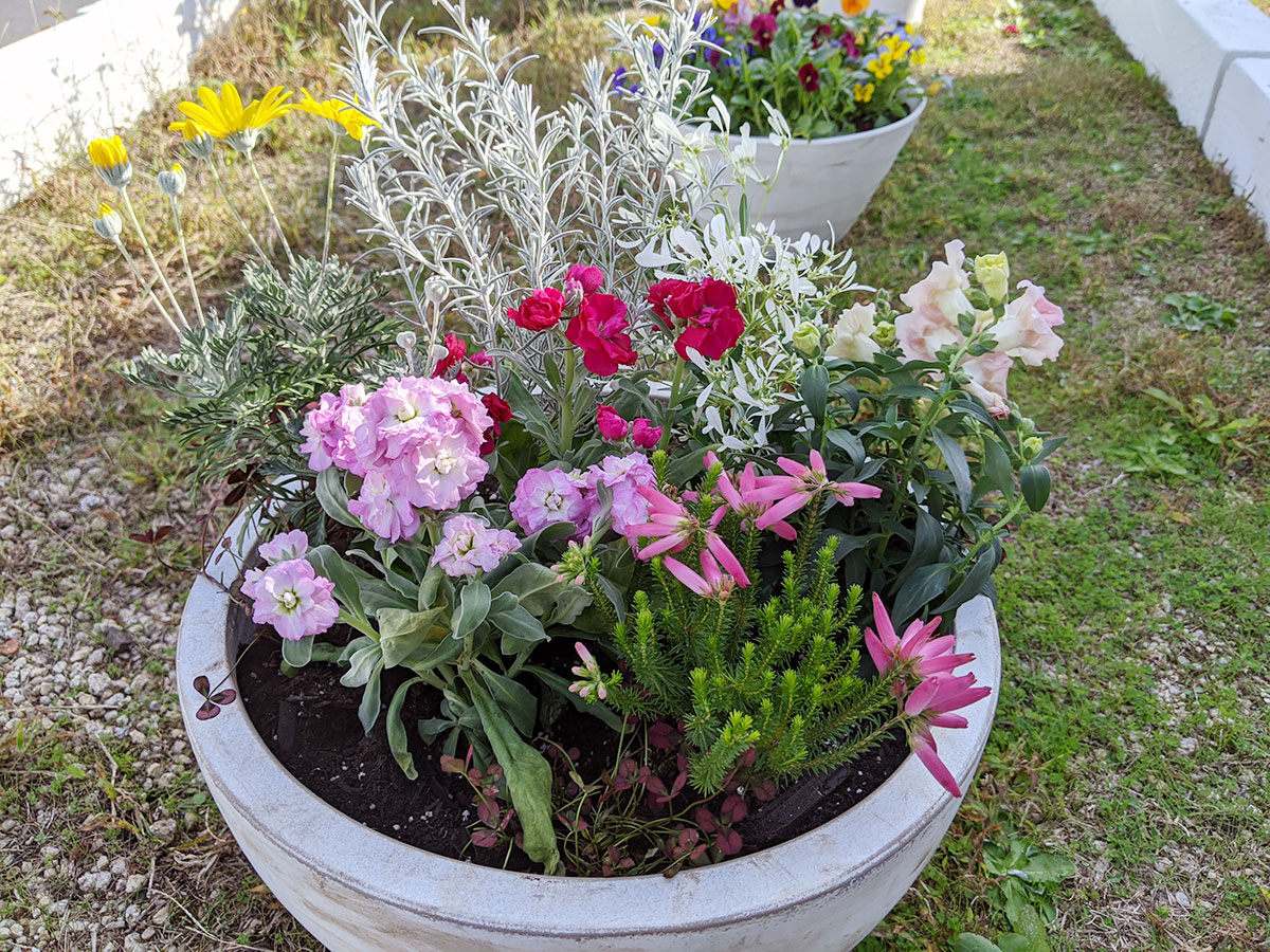 秋の寄せ植え5回目 【もりもとたかし のんびりガーデニング】 ストック・金魚草・エリカ・ユーホルビア・エルモフイア・ユリオプス デージー・クローバー・チューリップの球根を使って寄植えをつくりました。